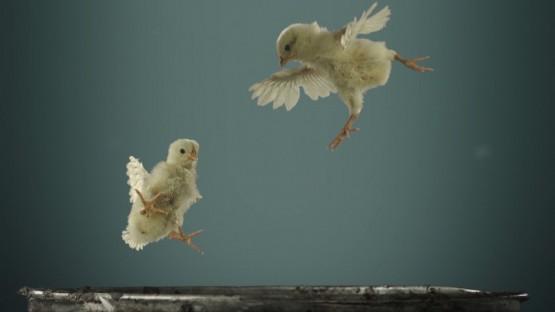 Hakimyar_Djawid_PETA_Flying Chicks